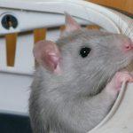 Plusieurs adorables petits rats recherchent une famille